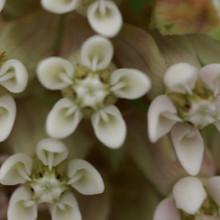 hybride 'White Beauty'