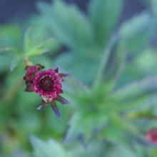 vulgaris 'Red Bells'