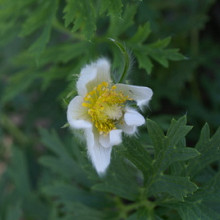 vulgaris 'White Bells'