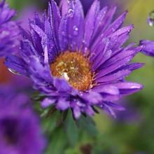 novae-angliae 'Purple Dome'