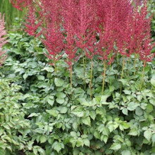 chinensis 'Strawberry Cake'