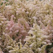 japonica 'Peach Blossom'