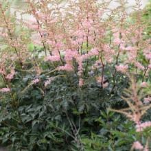 Simplicifolia 'Hennie Graafland'