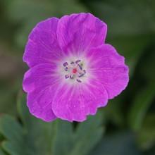 sanguineum 'New Hamps. Purple'