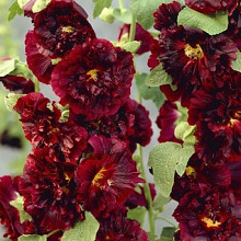 rosea 'Chaters Chestnut Brown'