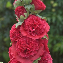 rosea 'Chaters Red'