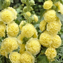 rosea 'Chaters Yellow'