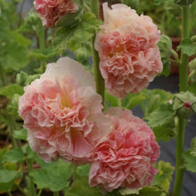 rosea 'Peaches and Dreams'