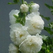 rosea Chaters 'White'
