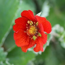 atrosanguinea 'Bonfire Red'